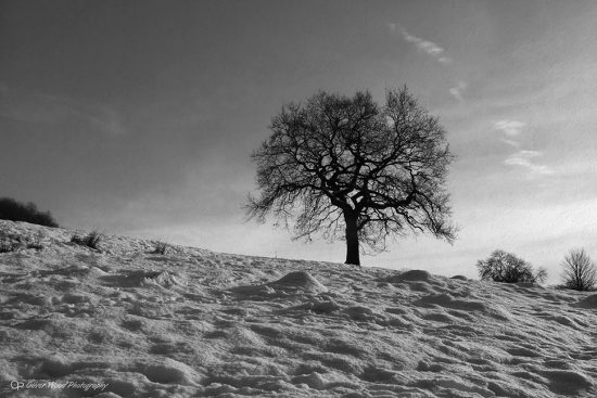 Snow Oak