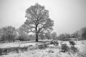 Icy Oak