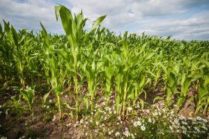 Chelford corn